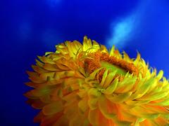 Xerochrysum - il fiore di paglia