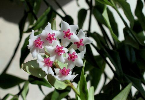 Hoya lanceolata - bella