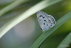 20100928-0058 Common Hedge Blue