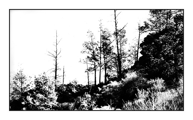 Native Pines (Callitris glaucophylla) in silhouette
