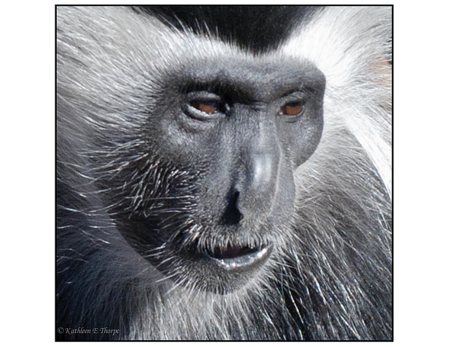 Colobus Close-up