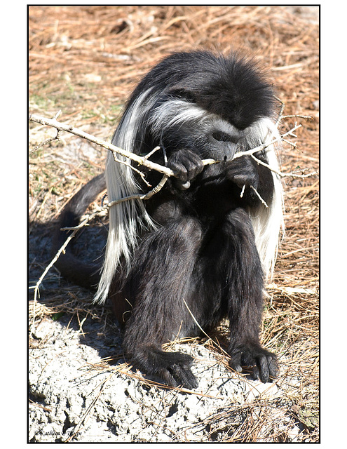 Colobus With Twig