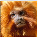 Golden Lion Tamarin 001