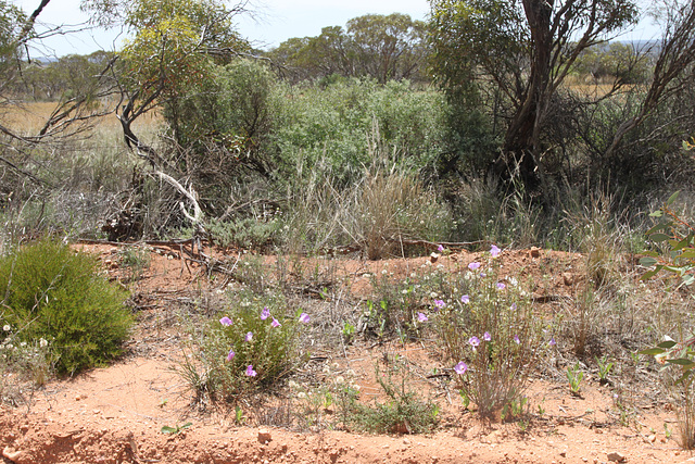 Alyogyne sp. Great Victoria Desert (D.J.Edinger 6212), PJL 2801