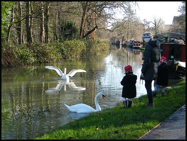 swans at Isis Bridge