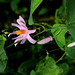 Passiflora tulae (2)