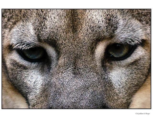 Florida Panther Eyes