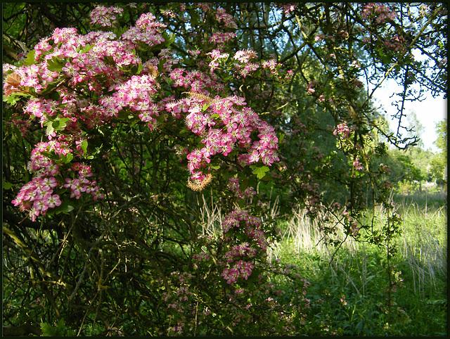 pink may bush