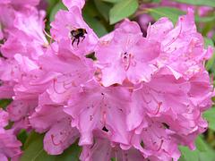 Rhododenrenblüte