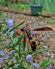 Brown Paper Wasp on Rosemary
