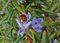 Ladybug on a Rosemary Flower