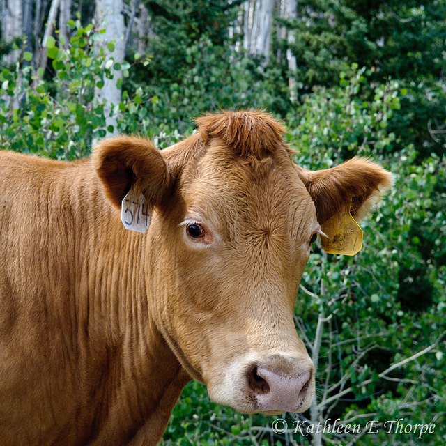 Dixie National Forest - Free Range Cattle