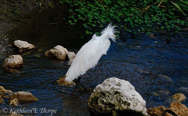 Snowy Egret 012114-01