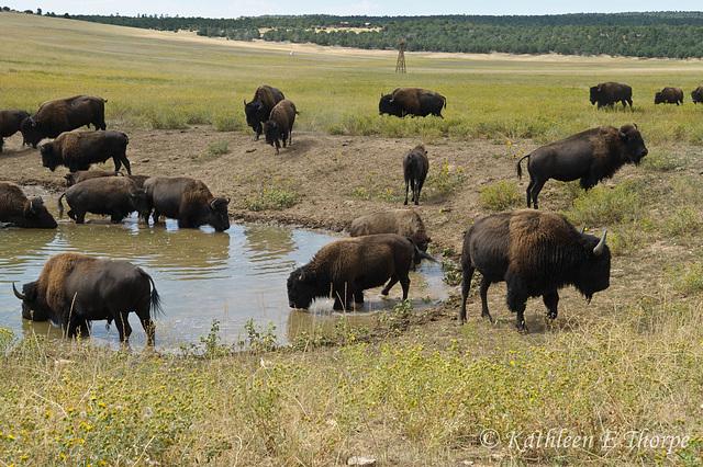 Zion Mountain Ranch Buffalo Herd in Watering Hole