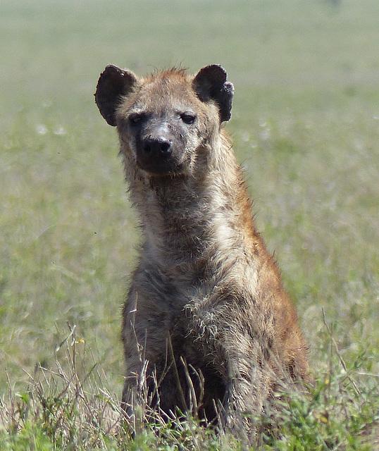 Hyène tachetée (Crocuta crocuta)