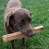 Dakota and his Stick.  Sweetest lab at Mount Zion Ranch.