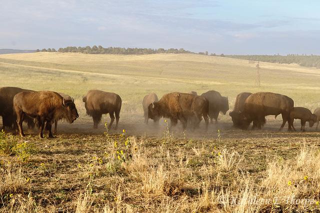 Zion Mountain Ranch Buffalo Herd Kicking Up Dust