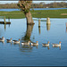 eight geese a-swimming