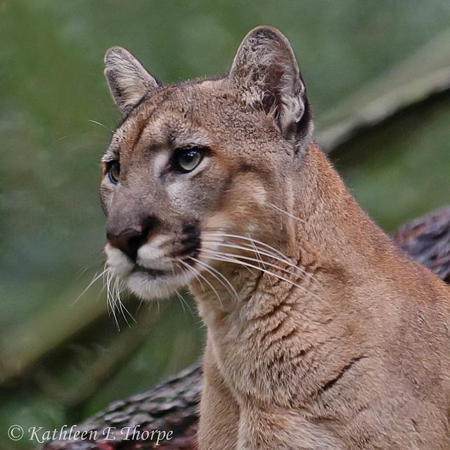 Female Florida Panther