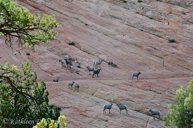 Zion Canyon Bighorn Sheep flock.  No time to switch lenses.  Took a shot and hoped for the best.