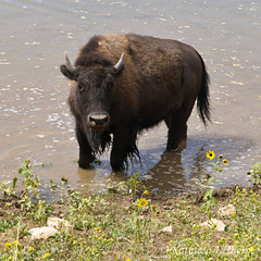 Zion Mountain Ranch Lead Bull Buffalo