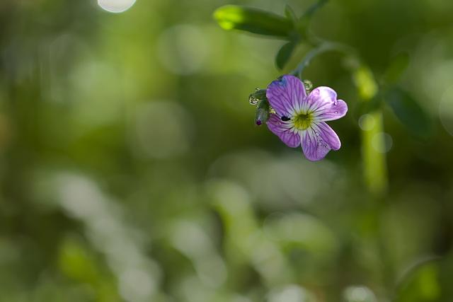 Dainty Virginia Stock Blossom