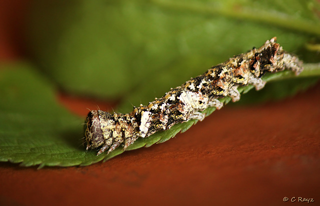 Green-brindled Crescent Caterpillar Side