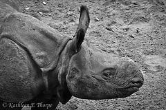 Baby Indian Rhino born July, 2011