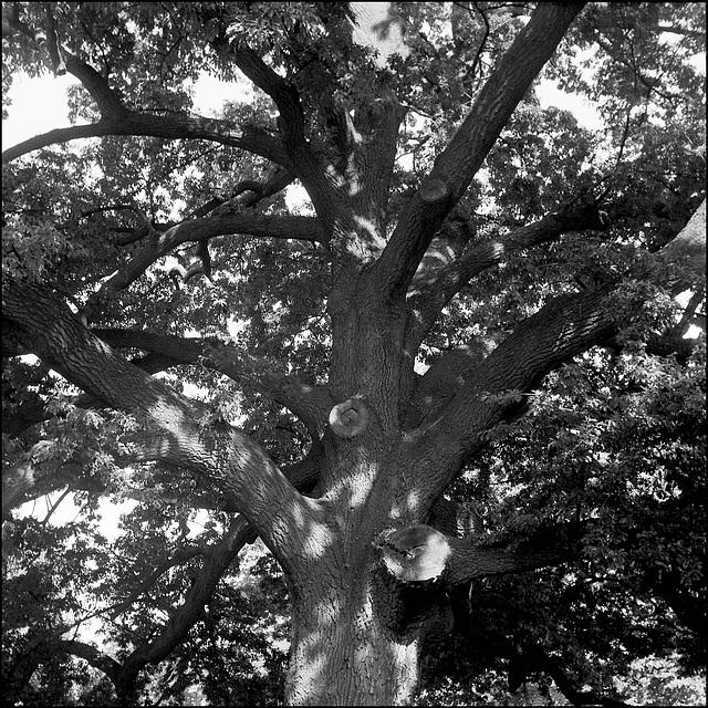 Oak, Ruskin Park.