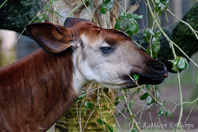 "Okapi - Well, I agree, this is a silly photo.  These guys have ""sleepy"" eyes and all they do is eat!  At least while I was there!!  I kept waiting for ""the"" photo, but they turned their butts toward m"