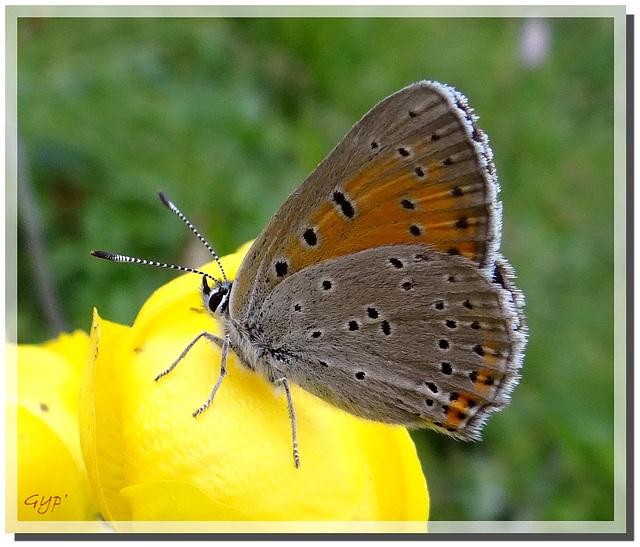 Lycaena hippothoe femelle sur fleur de Trolle.
