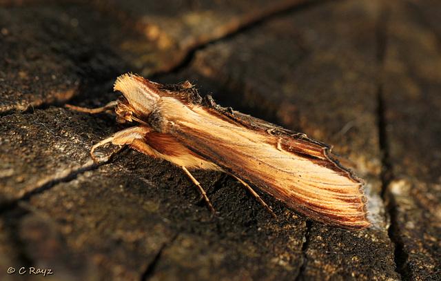 Mullein Moth
