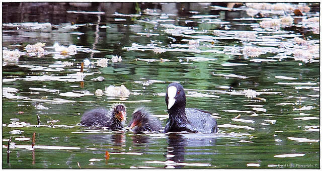 Cootlings