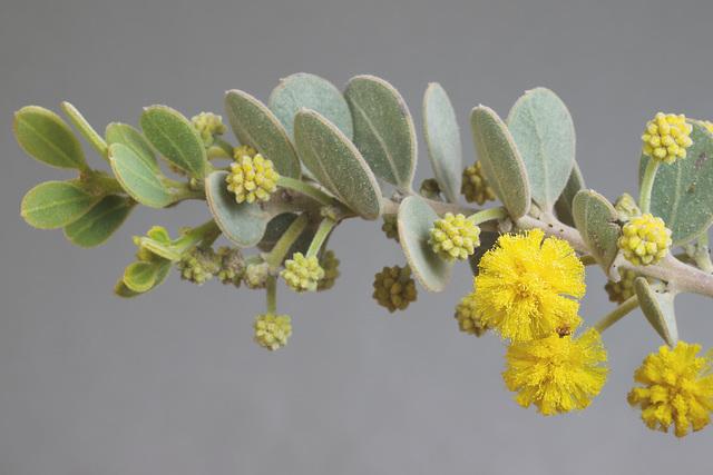 Acacia spilleriana