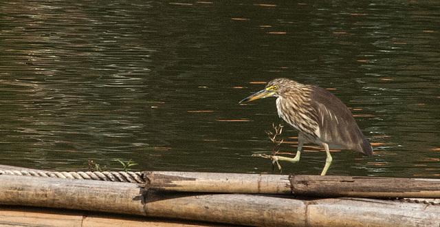 Kingfisher at Chiang Mai