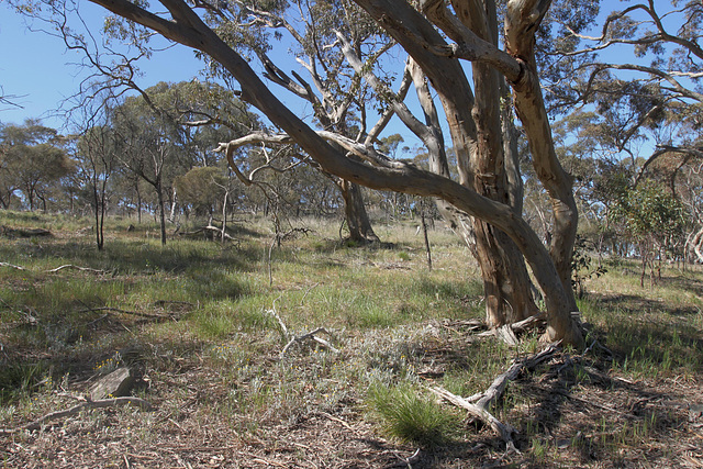 SA Blue Gum woodland, W of Moller Gap