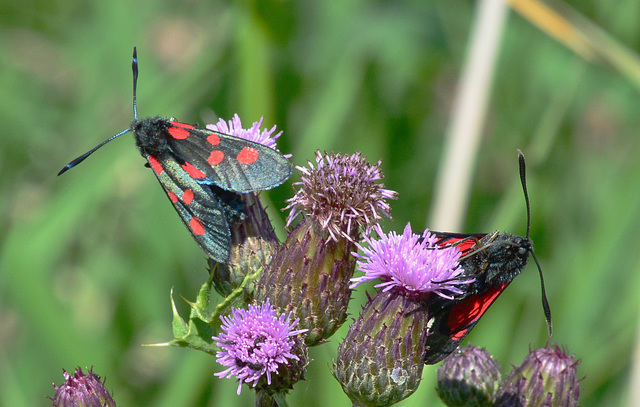 Narrow Bordered Five Spot Burnet,Zygaena lonicerae