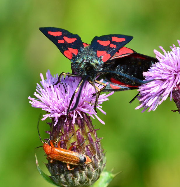 Narrow Bordered Five Spot Burnet, Zygaena lonicerae and Soldier Beetles,Rhagonycha fulva.