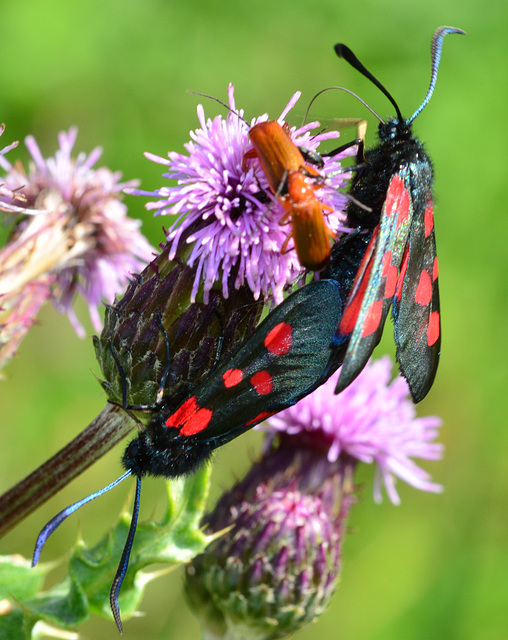 Narrow Bordered Five Spot Burnet, Zygaena lonicerae and Soldier Beetles,Rhagonycha fulva.