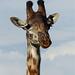 Girafe : portrait