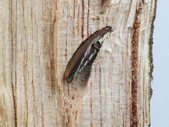 Agrilus hypoleucus, PL2305, - a dead end