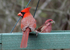 Cardinal and Purple Finch (Both Males)