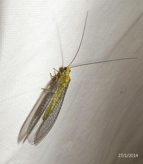 Calochrysa extranea (Lacewing)