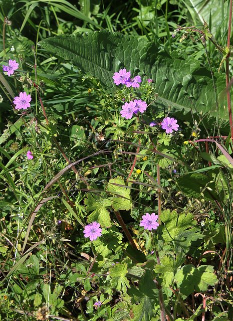 Geranium pyrenaïcum (2)
