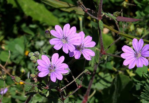 Geranium pyrenaïcum