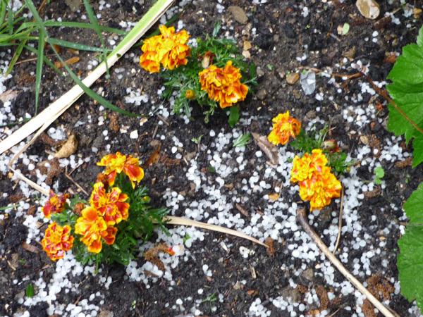 Orange blooms amid the hail