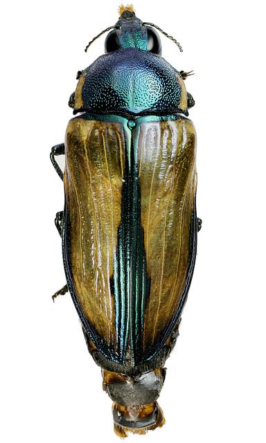 Temognatha lessonii, PL2464