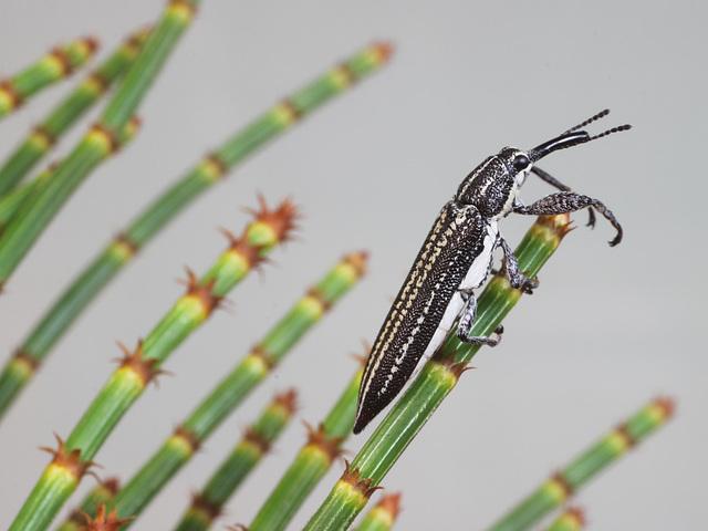Belidae sp., PL2434