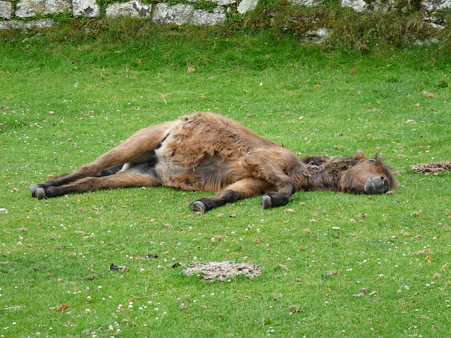 Dartmoor Pony- Not Dead, Just Dozing!