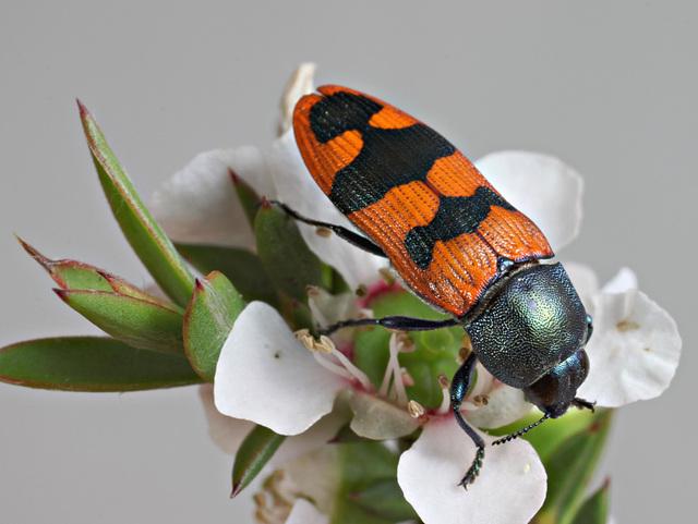 Castiarina crenata, PL2422